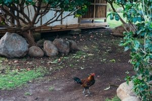 Camp Olowalu Rooster Problem