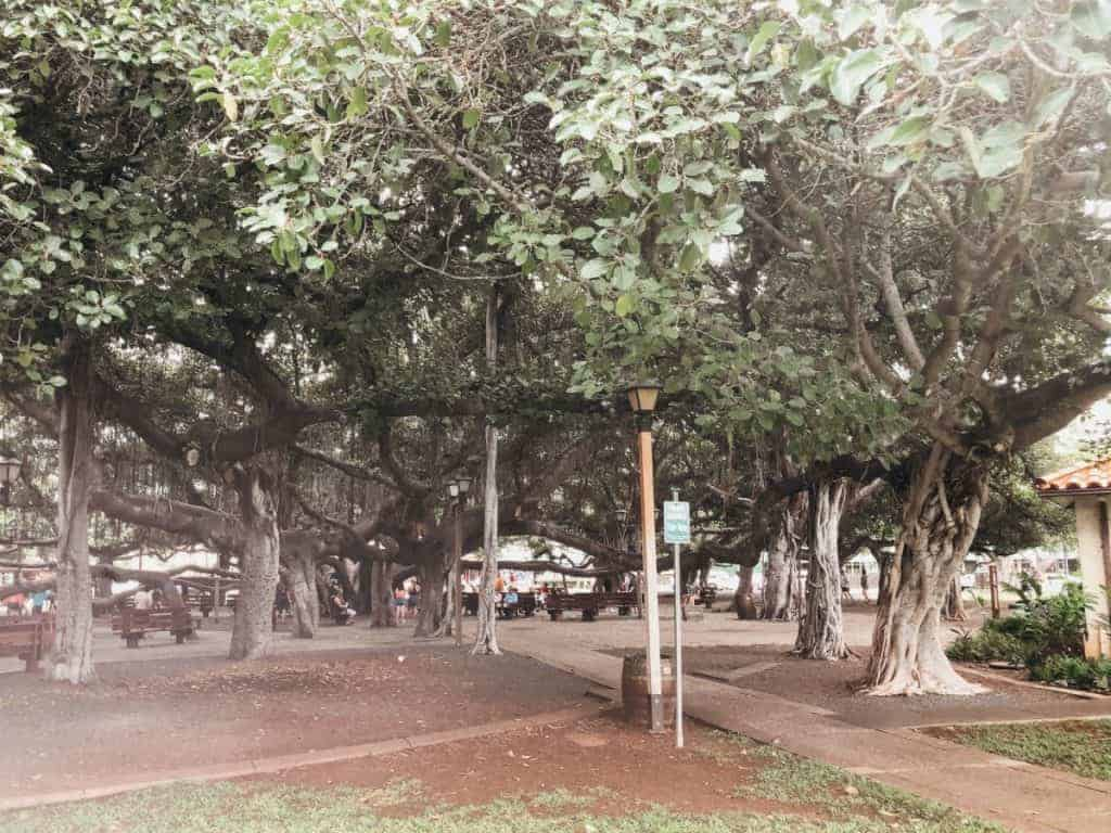 what-maui-is-known-for-lahaina-banyan-tree