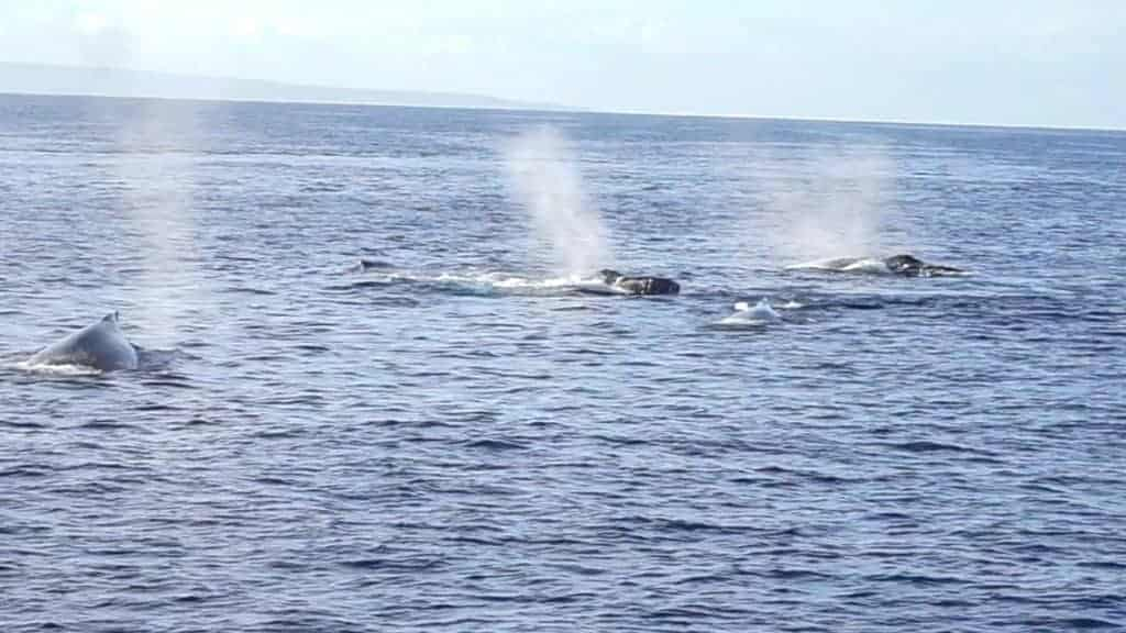 3 male whales chasing a female whale in Maui