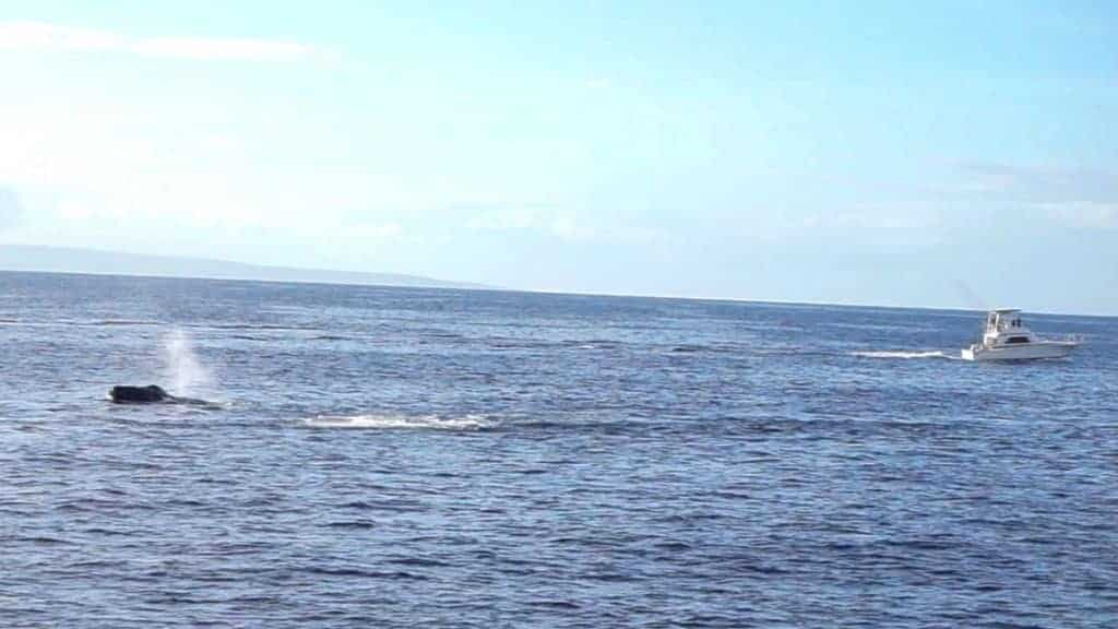 Head thrust from Maui humpback whale
