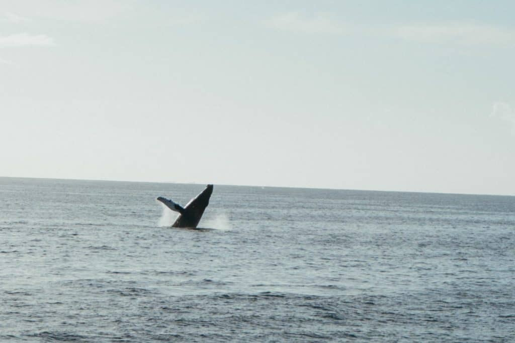 Humpback Whale Breach in Maui