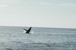 Humpback Whale Breach in Maui