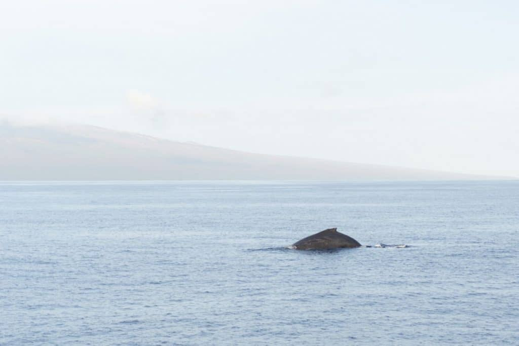 Humpback Whale arched back