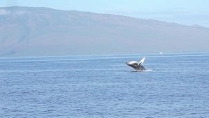 Humpback whale sight seeing guide