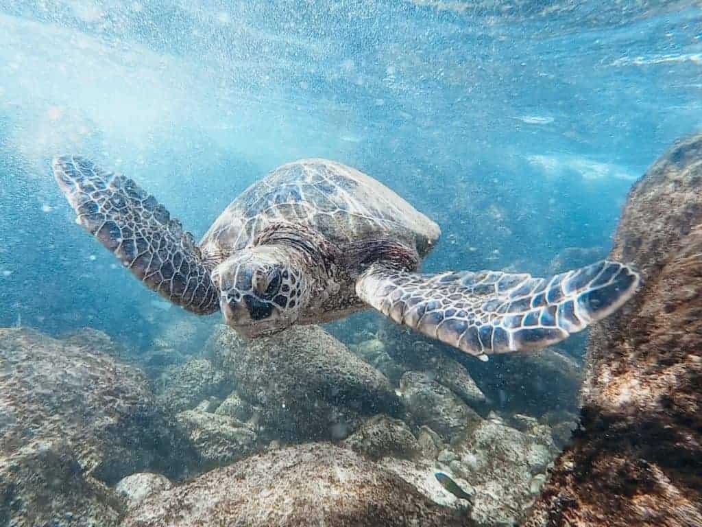 Maui Snorkeling Green Sea Turtles