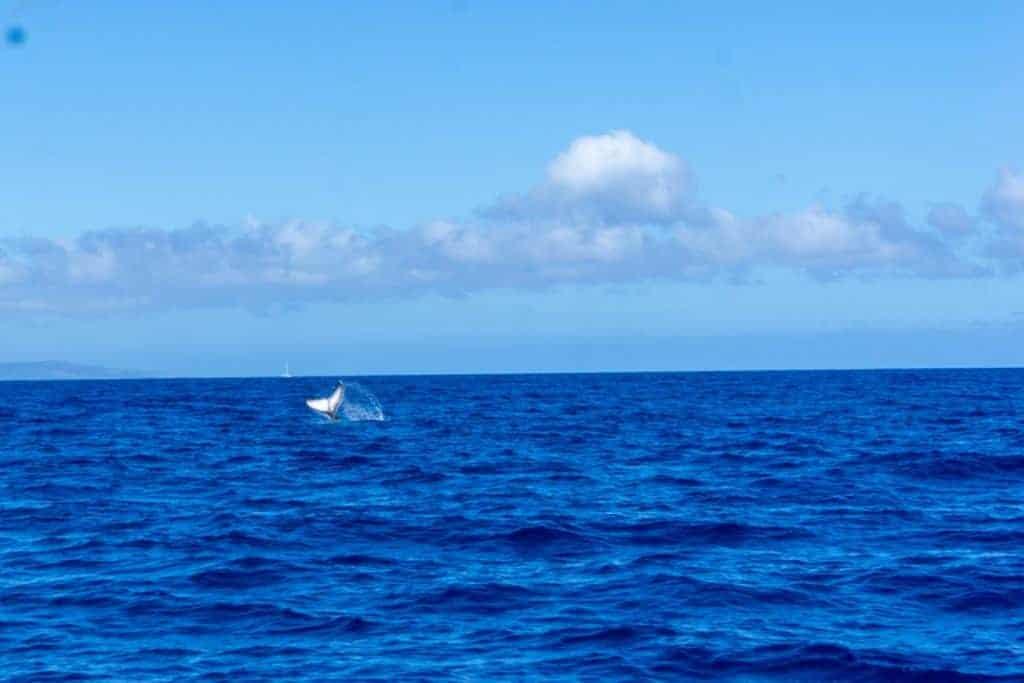 Maui Whale Tail Sighting a Calf