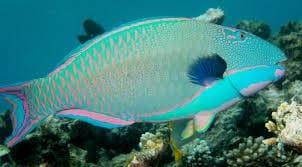 Maui parrotfish seen when snorkeling