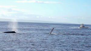 Pec Slap Maui Whale Watching