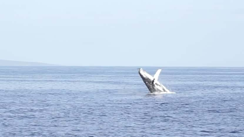 Whale songs while Snorkeling in Maui