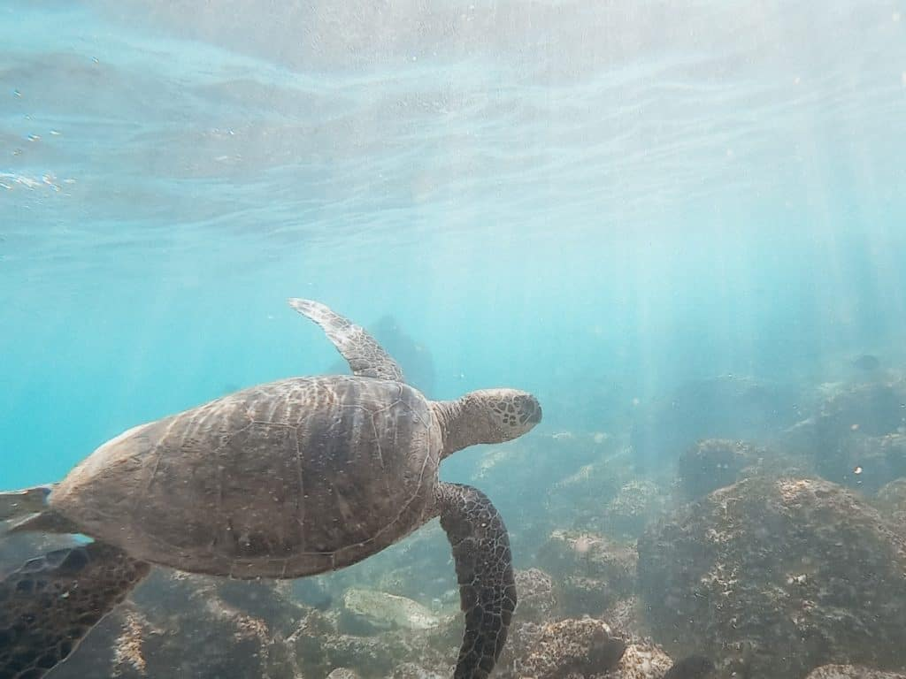 Hawaii snorkeling with sea turtles