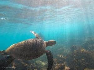 Costco Travel Review Hawaii Sea Turtle Snorkeling