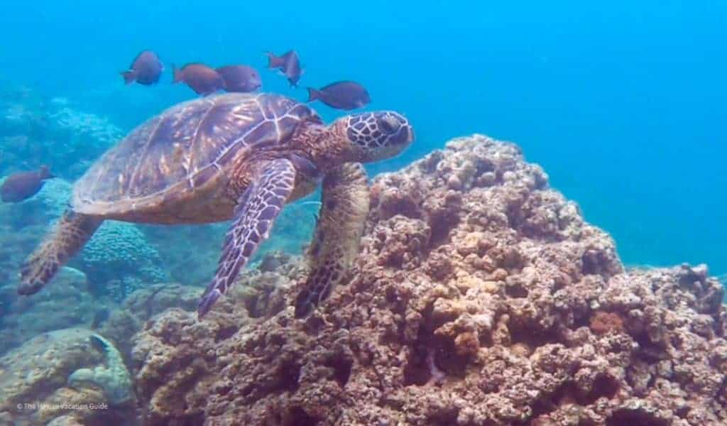Kauai Travel Guide Itineraries Green sea turtles