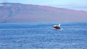 Maui Travel Guide Whale Watching