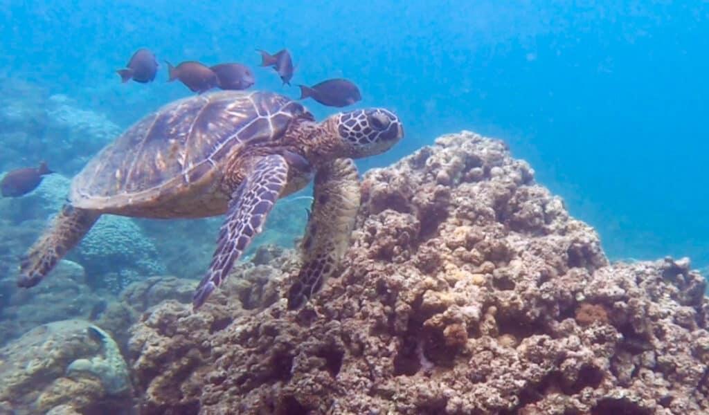 Best snorkeling Maui Honokeana Cove