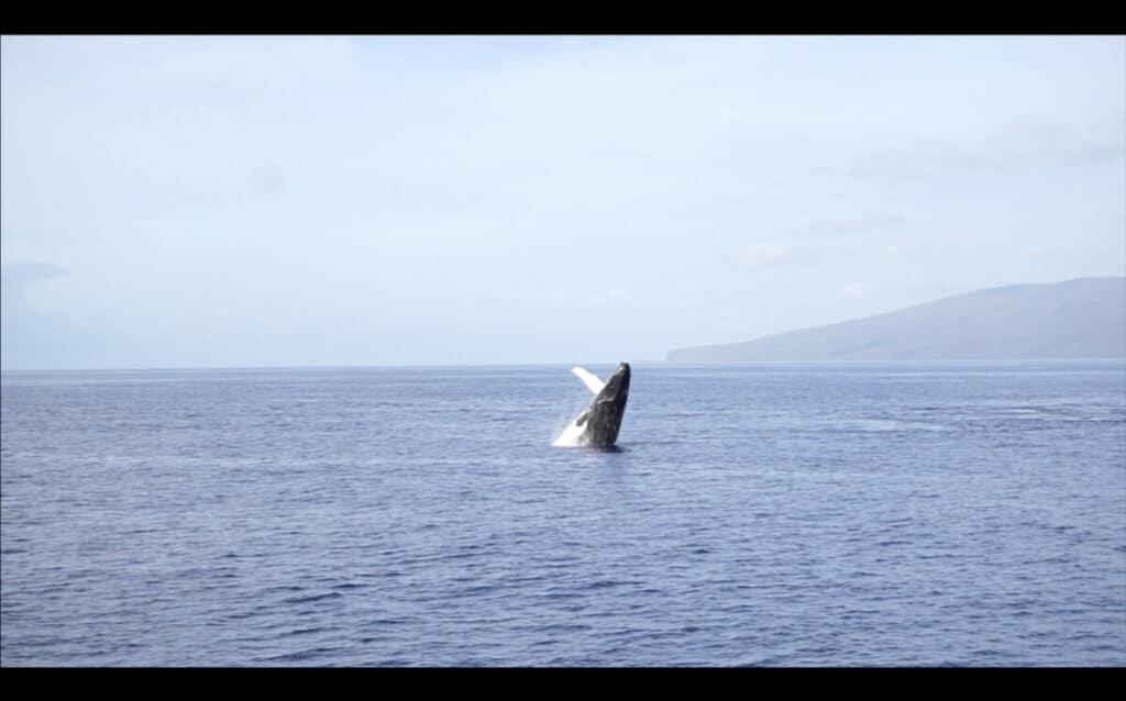 Maui vs Kauai whale watching