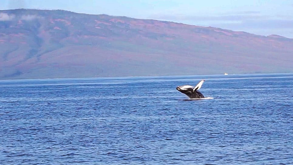 Best time to visit Maui whale watching