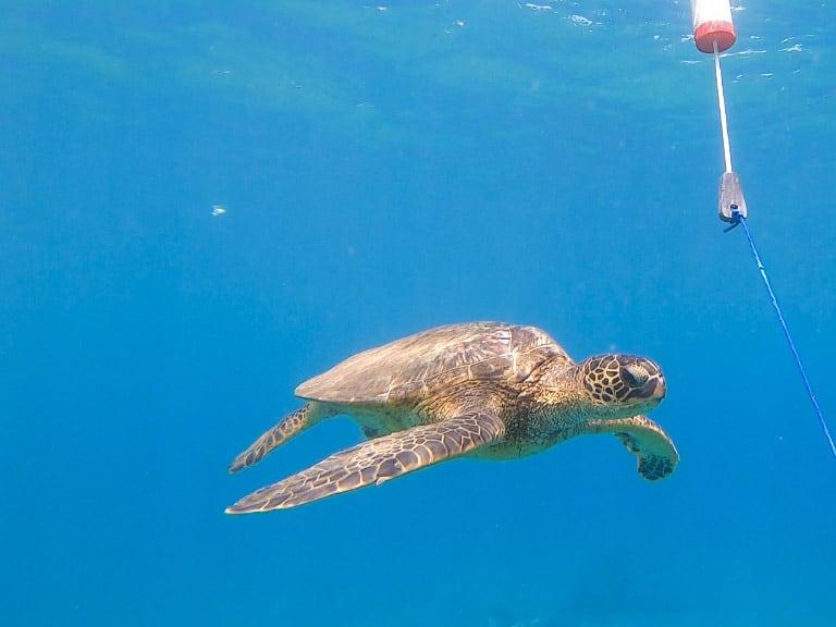 where to see sea turtles maui Mala Wharf