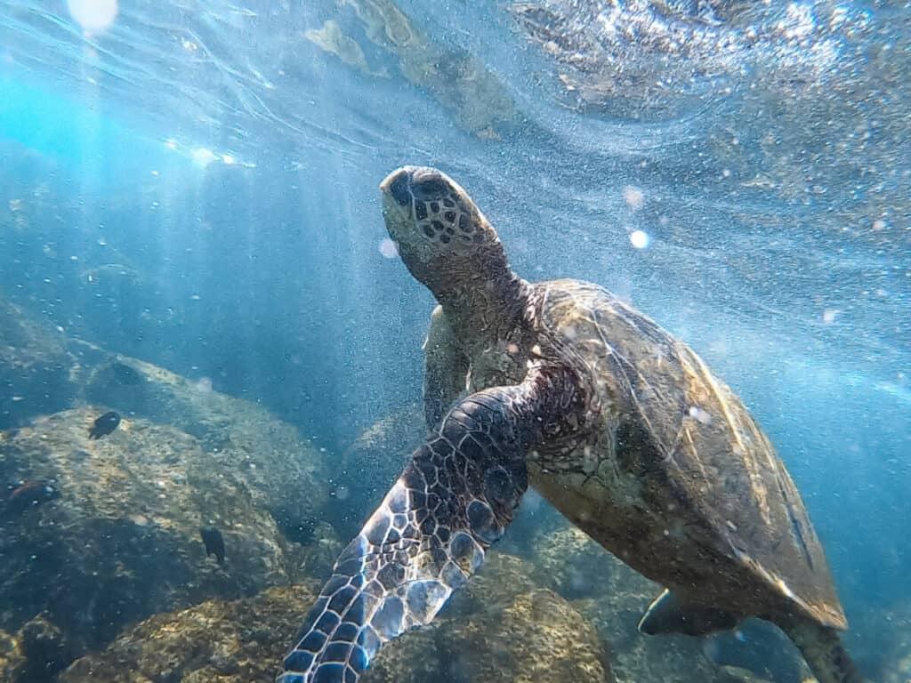 where to see sea turtles on maui kapalua