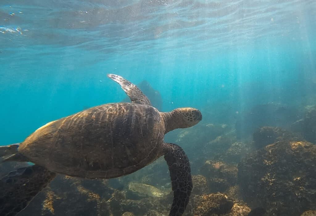 where to see sea turtles on Maui