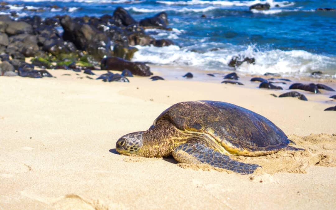 10 Places to See Turtles on Maui