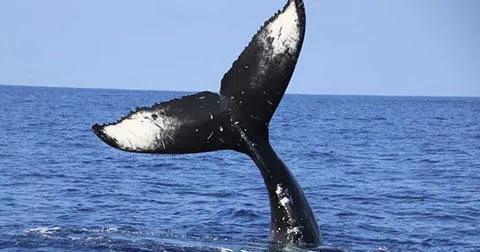 kona-hawaii-3-Hour-Whale-Watch