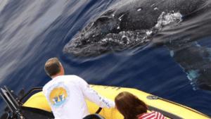 whale watching humpback whales rafting kohala resorts